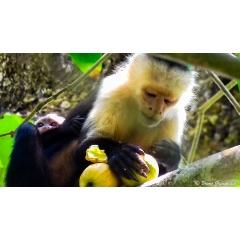Voyage de Noces au Costa Rica - SAN JOSE – BARRA DE PACUARE – CAHUITA – SARAPIQUI – VOLCAN ARENAL – MONTEVERDE – DOMINICAL – BAHIA BALLENA – MANUEL ANTONIO  Ce magnifique circuit vous fera découvrir la nature omniprésente au Costa Rica, à la fois à travers la faune et la flore, mais aussi, les volcans, l'océan et les plages. Le programme se prête particulièrement à un voyage de noce, mais pas que, avec des étapes tranquilles de une à trois nuits dans des hébergements de charme ***