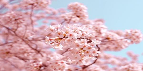 Japon cerisiers en fleurs